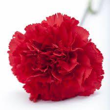 Natural Carnation Flower