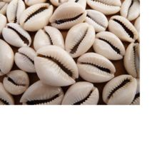 Custom Made Natural Cowrie Shells In Assorted Shapes
