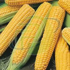 Hybrid Yellow Corn
