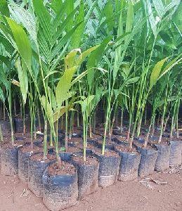 Areca Nuts Plant