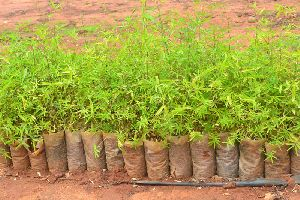 Bamboo Seedling