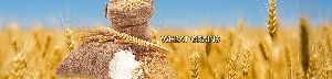 Wheat Grains