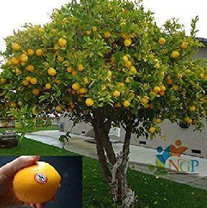 Orange Fruit Plant