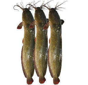 Large Magur Fish