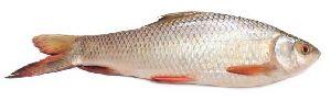 Whole Rohu Fish