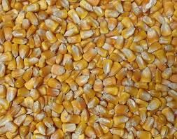 Organic Yellow Corn Kernels