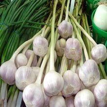 2017 Indian Fresh Normal White Garlic