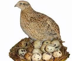 Live Quail Bird