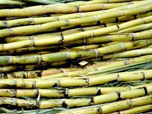 Sugar Cane Green