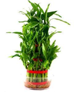Layer Bamboo
