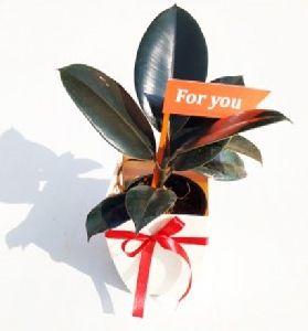 Rubber Plant: Auspicious, Wealth Boomer & Air Purifier