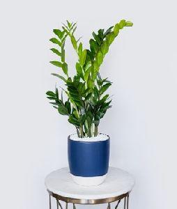 ZZ Plant: Adroid Palm (Air Purifier)