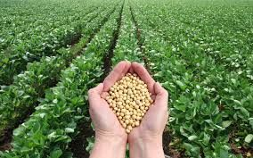 Soy Oil And Seed