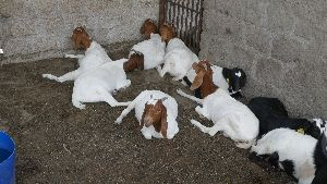 Pet Goat at Best Price from live goat Suppliers & Wholesalers in India