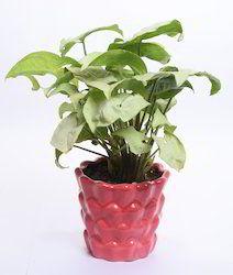 Airpurifing Indoor Plants
