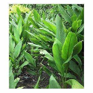 Turmeric Tissue Culture Plants