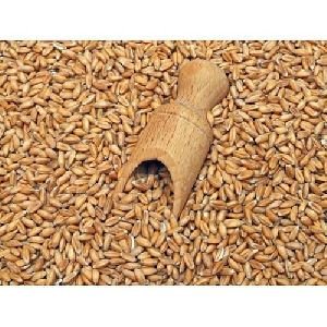 Organic Khapli Wheat