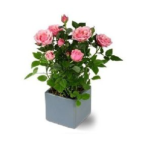 Rose Flowering Plant