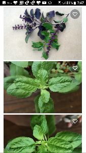 Pure and Natural Herbs