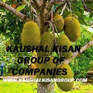Jackfruit Plant Katahal Ka Paudha Suppliers Jackfruit Plant Selling Companies