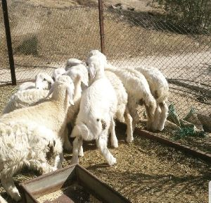 Sheep Meat