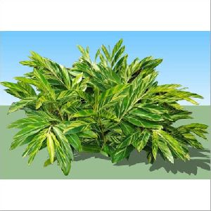 Alpinia Zerumbet Garden Plant