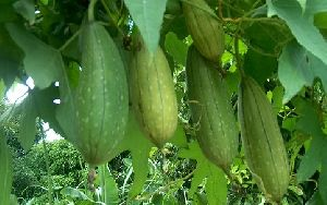 Fresh Ridge Gourd