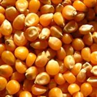 Yellow Maizes
