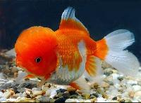 Ornamental Fish