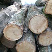 White Oak Wood Logs