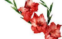 Gladiolus Flower