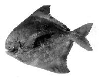 Chinese Pomfret