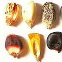 Corn Seeds
