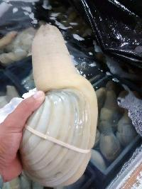 Geoduck Clam