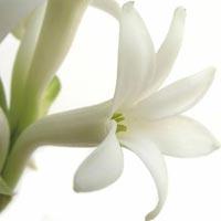 Fresh Tuberose Flowers