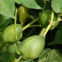 Hybrid Cotton Seeds