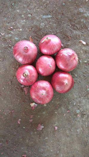 Shallot Onions