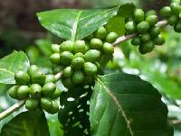 Green Coffee Bean Extract(chlorogenic Acid 45%,60%)