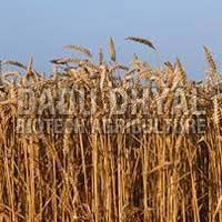 Dried Wheat Leaves
