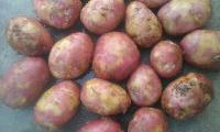 Fresh Red Potato