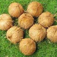 Fully Husked Coconuts