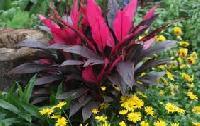 Tad Adenium Plant