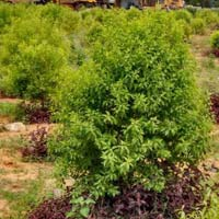 Sandalwood Plants