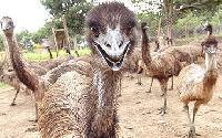 Emu Livestock