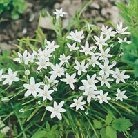 Zephyranthes_candida Outdoor Plants