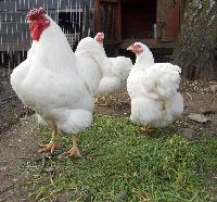 Poultry Chicken