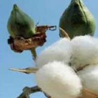 Organic Cotton Seeds