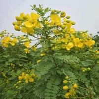 Senna Auriculata Plant