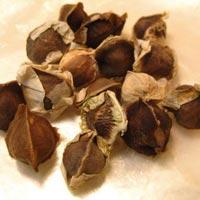 Drumstick Seeds