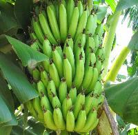 Excellent Range Of Fresh Banana.